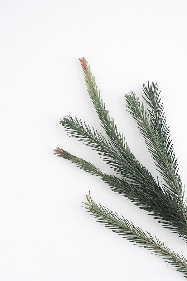 australian-pine-1