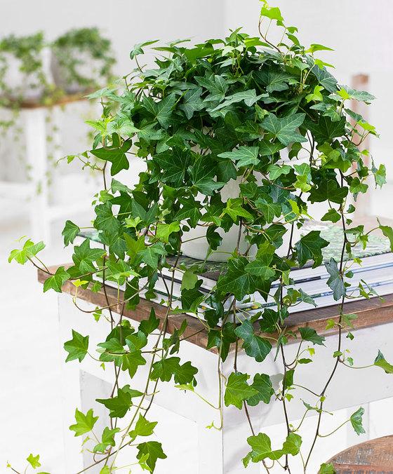 lierre, plantes, plants, deco