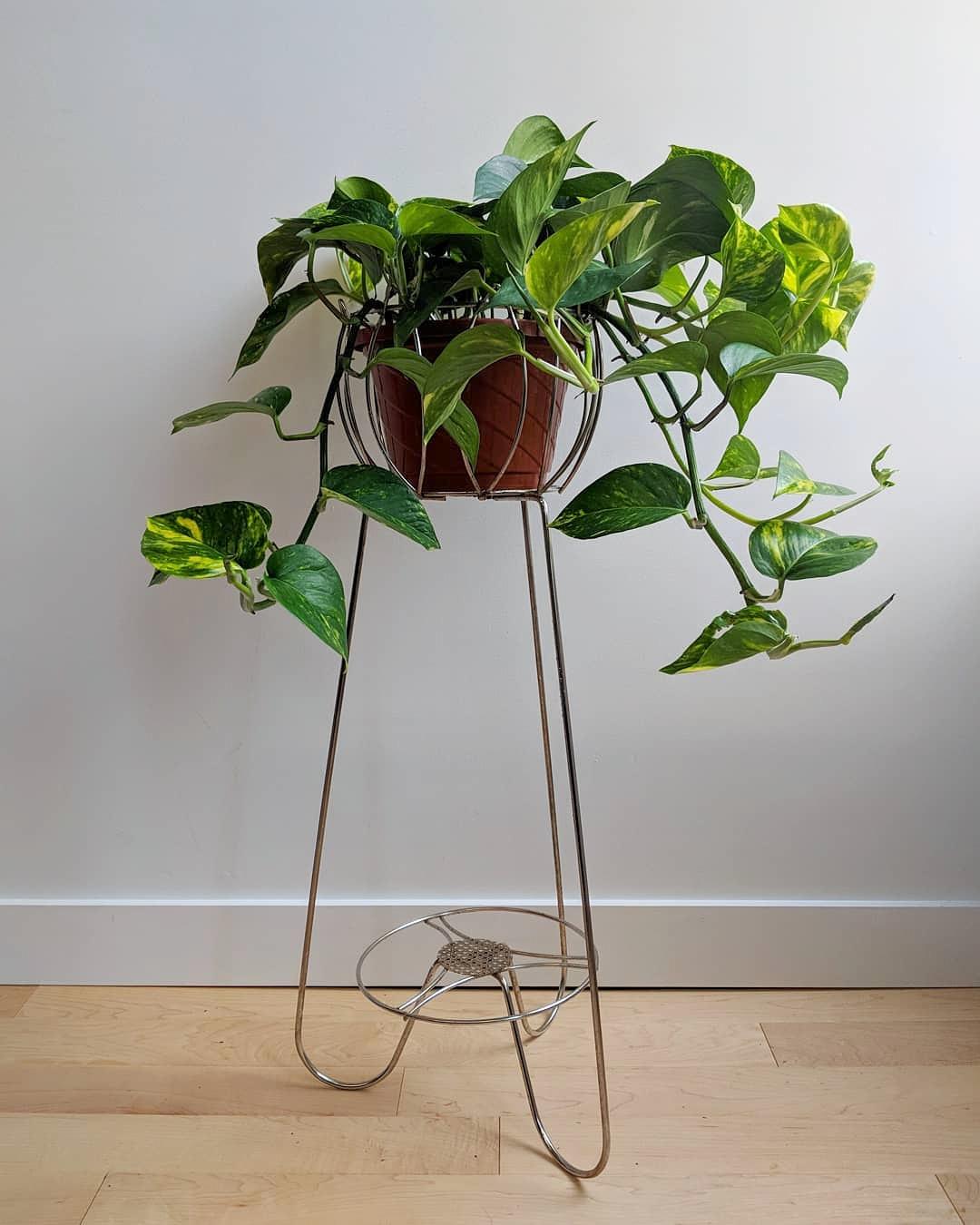 pothos, plants, plantes