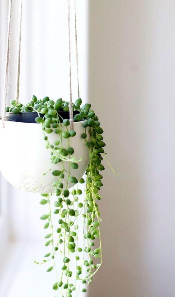 senecio, plantes, plants, deco